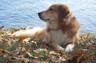 Nantucket; the worlds best Nova Scotia Duck Tolling Retriever